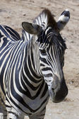 Zebra (Equus quagga) — Stock Photo