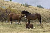 Horses bred Hispano-Breton — Stock Photo