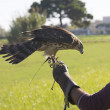 Stock Photo: Falconer with raptor