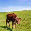 Little cow on green field - Stock Photo