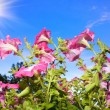 Flowers and sun — Stock Photo #6779687