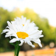 Camomile flower — Stockfoto