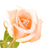 White rose with water drops isolated — Stock Photo