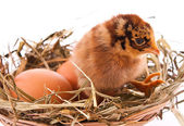 Chicken and egg in nest — Stock Photo