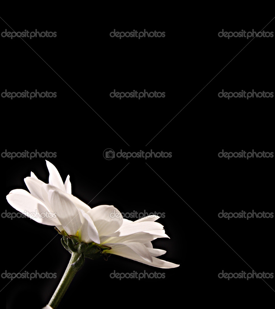 White flower on black background — Stock Photo #6779582