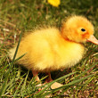 Young duckling at the farm — Stock Photo