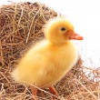 Stock Photo: Duckling
