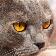 Angry Cat face closeup — Stock Photo