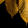 Fallen leaf on black background — Stock Photo