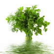 Bouquet of parsley isolated on white with water reflection — Stock Photo #6781610