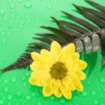 Yellow chamomile on green background — Stock Photo