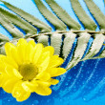 Yellow chamomile on blue background — Stock Photo