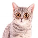 Junge lustig überraschte Katze Closeup isoliert auf weiss — Stockfoto