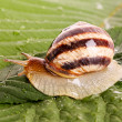 Snail on leaf — Stock Photo #6783199
