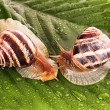 Two snails on leaf over white background — Stock Photo