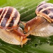 Two snails on leaf closeup — Stock Photo #6783226