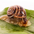 Snail on leaf over white background - Stock Photo