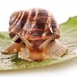 Snail on leaf - Stock Photo