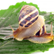 Two snails on leaf over white background - Stock Photo