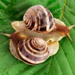 Two snails on leaf closeup - Stock Photo