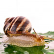 Stock Photo: Snail on leaf over white background