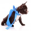 Young bulldog with blue bow isolated on white — Stock Photo #6787355