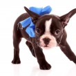 Young bulldog with blue bow isolated on white — Stock Photo #6787359
