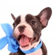 Young bulldog with blue bow isolated on white — Stock Photo #6787373