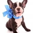 Young bulldog with blue bow isolated on white — Stock Photo #6787374