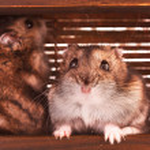 Hamsters in box — Stock Photo