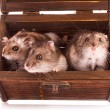 Hamsters in box — Stock Photo #6787490