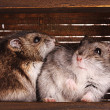 Two small hamster in box - Stock Photo