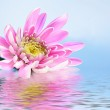 Pink fresh aster in water on blue background — Stock Photo #6787732