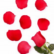 Red rose with fallen petals isolated on white — Stock Photo #6788070