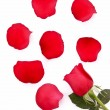 Red rose with fallen petals isolated on white — Stock Photo