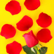 Red rose with fallen petals on orange background — Stock Photo #6788112