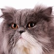 Bicolor persian cat isolated on white — Stock Photo