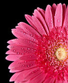 Red gerbera isolated on back — Stock Photo