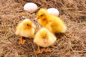 Ducklings and eggs in hay background — Stock Photo