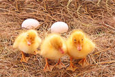 Three duckling guarding eggs — Stock Photo