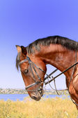 Horse portrait on river background — Stock Photo