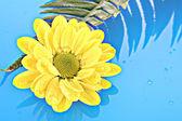 Manzanilla amarilla sobre fondo azul — Foto de Stock