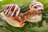 Two snails on leaf closeup — Stock Photo