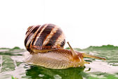 Snail on leaf over white background — Stock Photo
