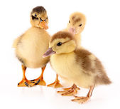 Three ducklings isolated on white — Stock Photo