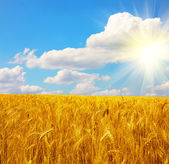 Wheat field and sun with blue sky — Stock Photo