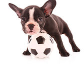 Young bulldog with ball isolated on white — Stock Photo