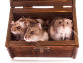Hamsters in box — Stock Photo
