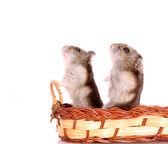 Two small hamster isolated on white — Stock Photo