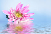 Pink fresh aster in water on blue background — Stock Photo